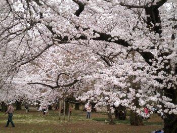 桜の下でy.j.JPG
