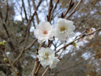 dc112661冬桜.jpg